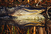 American Alligator, Alligator mississippiensis, reflected in pool, Shark Valley, Everglades National Park, Florida.