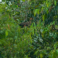 A Hoatzin bird (Opisthocomus hoazin) perches in a tree in Peru's Amazon Jungle.