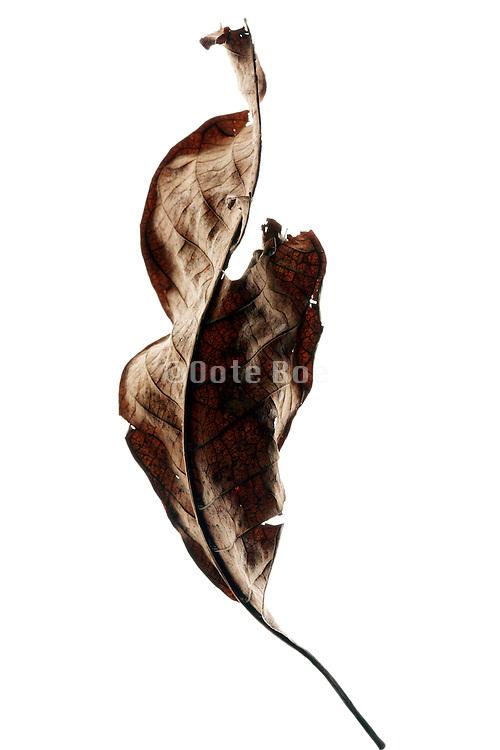 curling up and disintegrating leaf