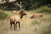 Bull elk standing guard over cows