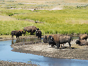 Buffalo gather around a watering hole in the Lamar Valley, Yellowstone National Park, Wyoming, United States.