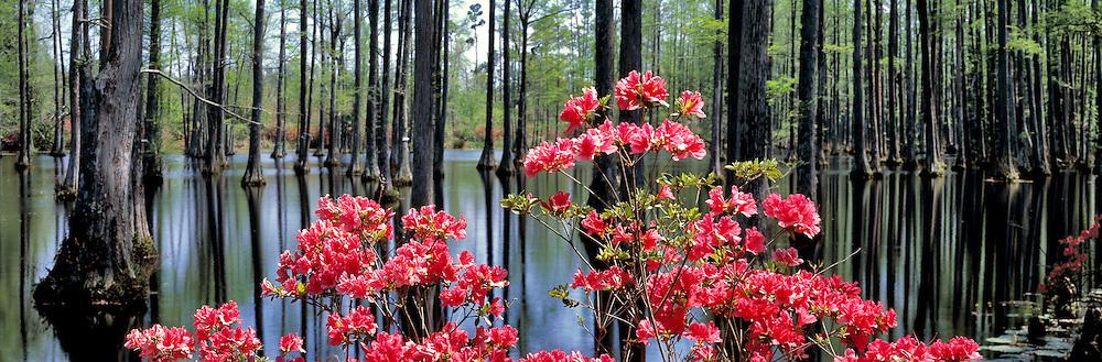 Azaleas and bald cypress trees at Cypress Gardens, South Carolina.