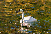 Trumpeter Swan, Yellowstone National Park, Wyoming USA