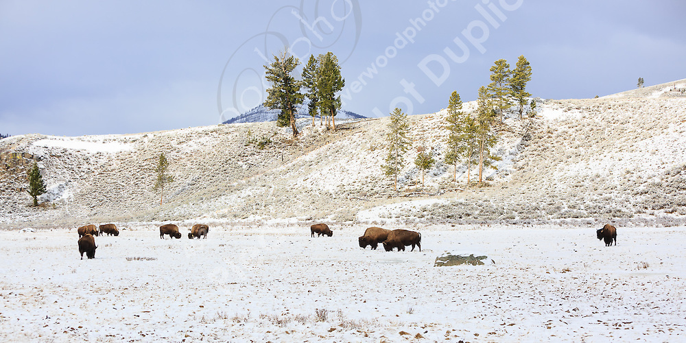 Near Blacktail Ponds in Yellowstone<br /> <br /> ©2015, Sean Phillips<br /> http://www.RiverwoodPhotography.com