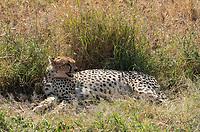 Cheetah, Acinonyx jubatus jubatus, rests in a small patch of shade after killing a Thomson's Gazelle, Eudorcas thomsonii, in Serengeti National Park, Tanzania