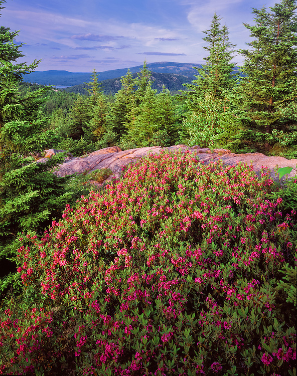 Flowering shrubs and pines with views, Acadia National Park, ME
