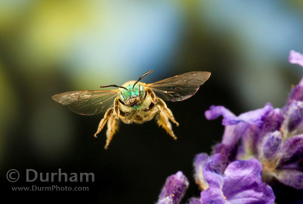 A halictid bee, or green metallic bee (Augochloropis sp.) in flight. Western Oregon.