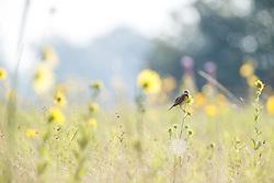Backlit sunflowers and dickcissel on Blackland Prairie, Mary Talbot Prairie, owned by Native Prairies Association fo Texas (NPAT), Texarkana, Texas, Farmersville, Texas, USA. Need identification