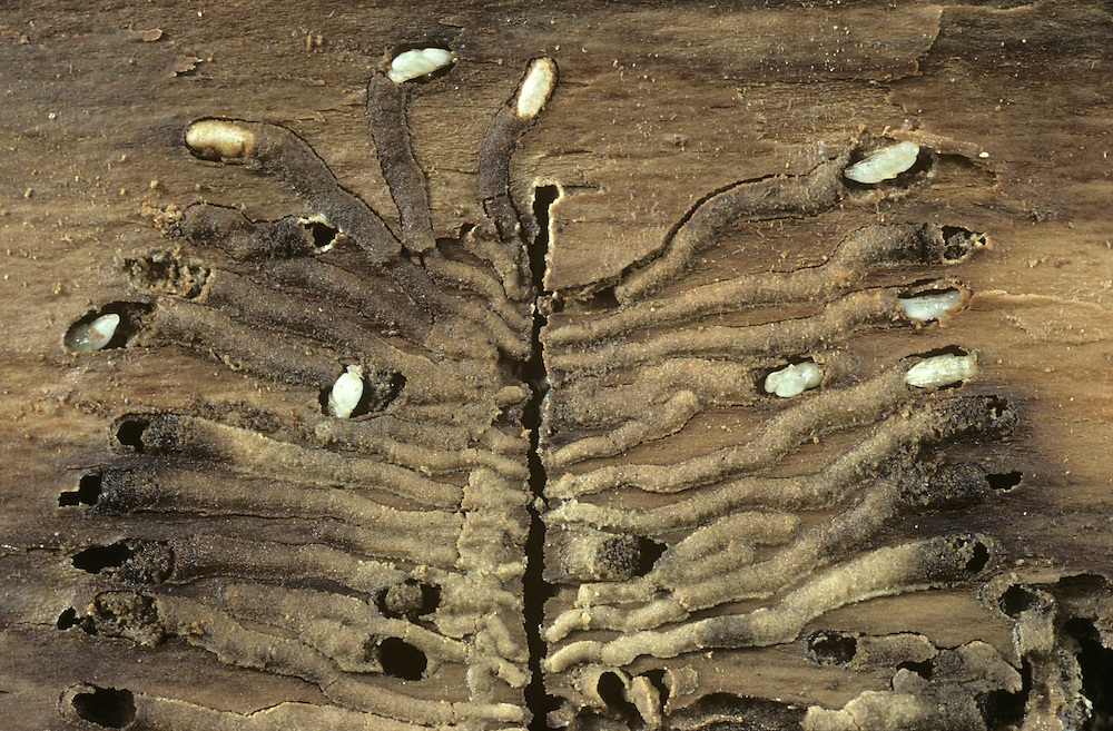 Bark Beetle pupae and galleries