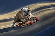 A five-year-old skateboarding Bulldog rides his board at Strawberry Hill Skatepark. (Ellen M. Banner / The Seattle Times)