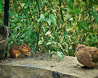 Eastern Chipmunk. Image taken with a Leica SL2 camera and Sigma 100-400 mm lens