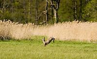 Roe deer, (Capreolus capreolus), Matsalu Bay Nature Reserve, Estonia