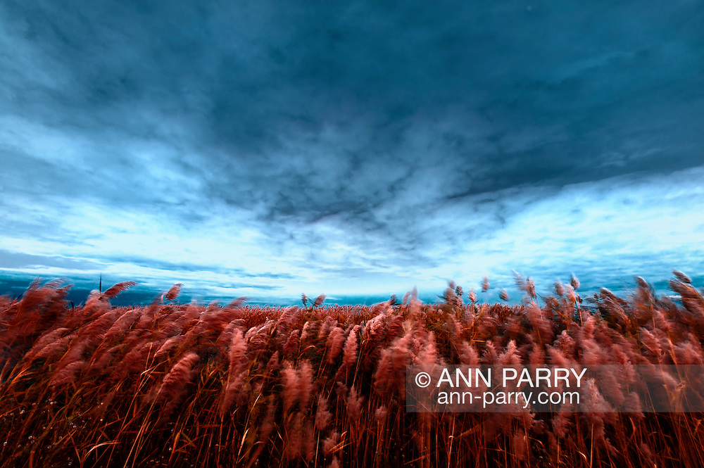 Abstract Sunset Golden Reeds in Marsh Blowing in Wind at Levy Park and Preserve, South Merrick, Long Island, New York, atmospheric nature background with motion blur, strong sense of depth perspective from ultra wide lens (Nikon D700 with 14-24mm f 2.8)