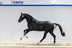 564, Nixon<br /> KWPN Hengstenkeuring 2021<br /> © Hippo Foto - Dirk Caremans<br />  05/02/2021
