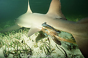 Afterbirth trails from cloaca of lemon shark, Negaprion brevirostris, between live births of pup, remoras stay close at hand - they will eat the afterbirth, Bimini, Bahamas ( Western Atlantic Ocean )