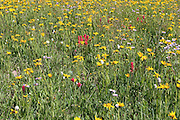 Wildflowers on Weston Pass near Leadville