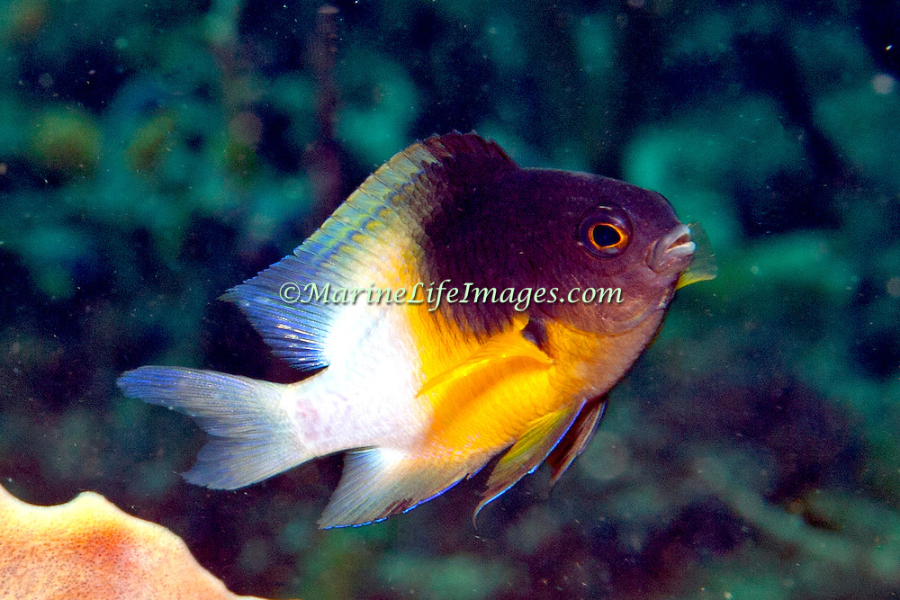 Bicolor Damsilfish inhabit patch reefs and areas of sand and coral rubble, in Tropical West Atlantic; picture taken Tobago.