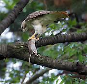 The red-tailed hawk killed the rat in Central park, NYC.