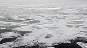 Lonesome polar bear on the melting pack ice at 81,5 degrees north in late July 2012.