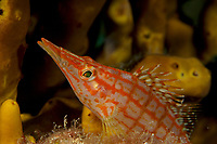 Longnose Hawkfish (Oxycirrhites typus)<br /><br />Canales de Afuera Islands<br />Coiba National Park<br />Panama<br /><br />Manta Point dive site