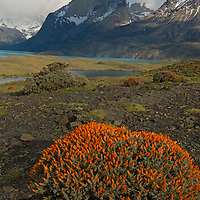 The Horns of Paine, Lago Nordenskjold and a flowering shrub in Torres del Paine National Park in Patagonia, Chile.