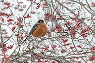 01382-05315 American Robin (Turdus migratorius) in Hawthorn tree in winter Marion Co. IL