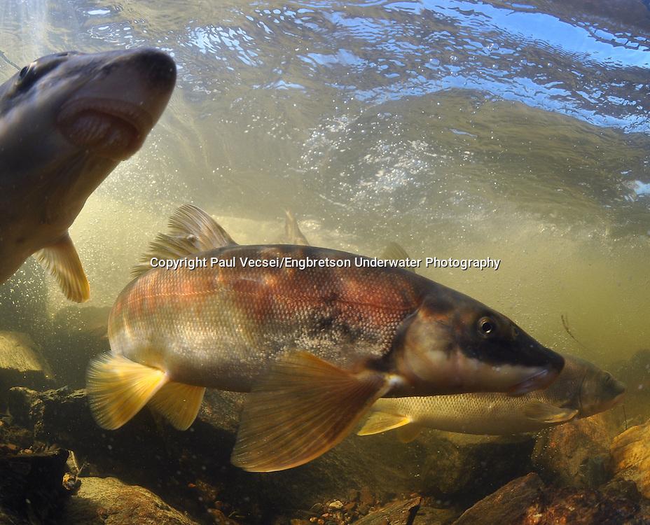 Longnose Sucker<br /> <br /> Paul Vecsei/Engbretson Underwater Photography
