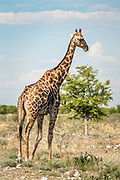 One of many giraffes at the Etosha Reserve, Namibia