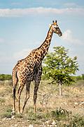 One of many giraffes at the Etosha Reserve, Namibia