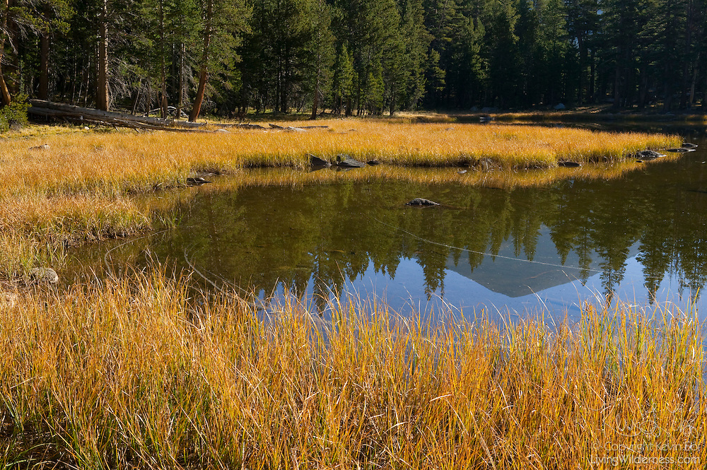 The early morning sunlight illuminates the grasses along the Tuolumne River near Tioga Pass in Yosemite National Park.
