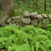 Stone wall and ferns in the Appleton Farms reservation, Ipswich, MA, managed by The Trusteess of Reservations
