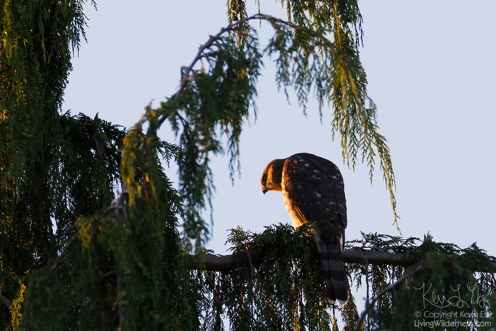 A juvenile cooper's hawk (Accipiter cooperii) that is just learning to fly looks out from a perch in a tree in Snohomish County, Washington. Cooper's hawks are native to North American and are found from southern Canada to northern Mexico.