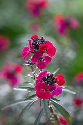 Erysimum 'Red Jep'. Wallflower.