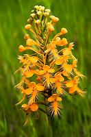 A very large fringed orchid growing in a ditch in the Goethe State Forest in Levy County, Florida.