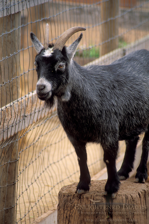 Goat in petting area, Avila Barn, near Avila Beach, San Luis Obispo County, California