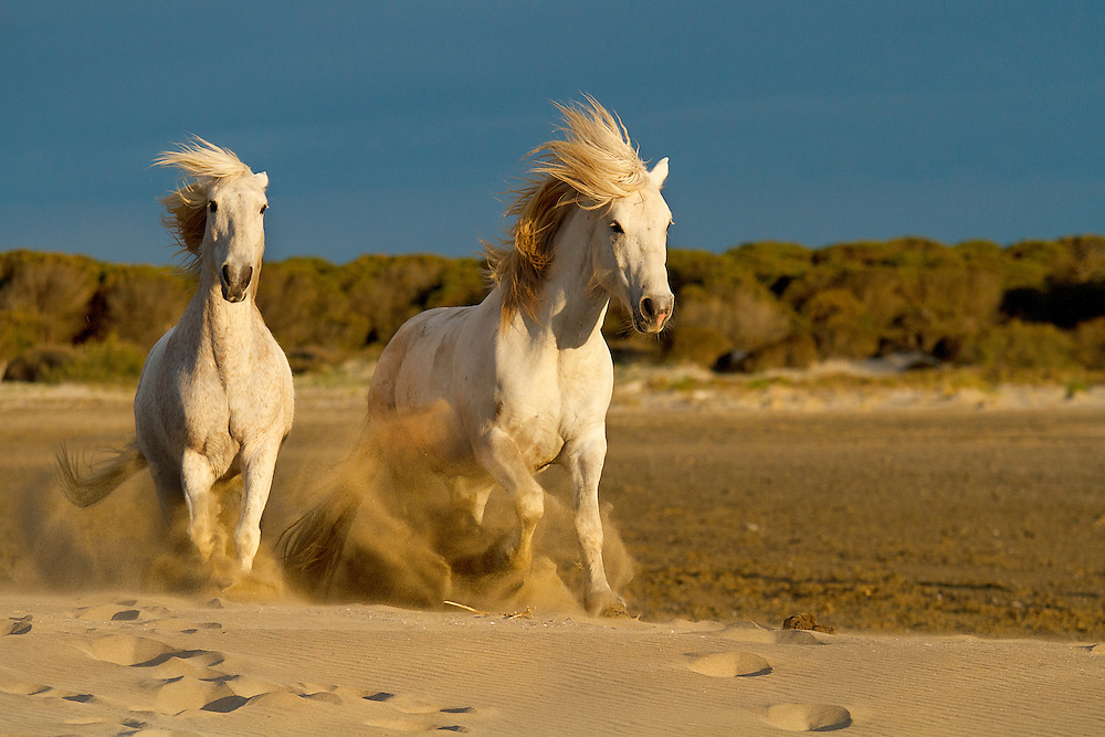 """White horses of Camargue France running free  on the beach. <br /> <br /> Available sizes:<br /> 12"""" x 18"""" print <br /> <br /> See Pricing page for more information. Please contact me for custom sizes and print options including canvas wraps, metal prints, assorted paper options, etc. <br /> <br /> I enjoy working with buyers to help them with all their home and commercial wall art needs."""