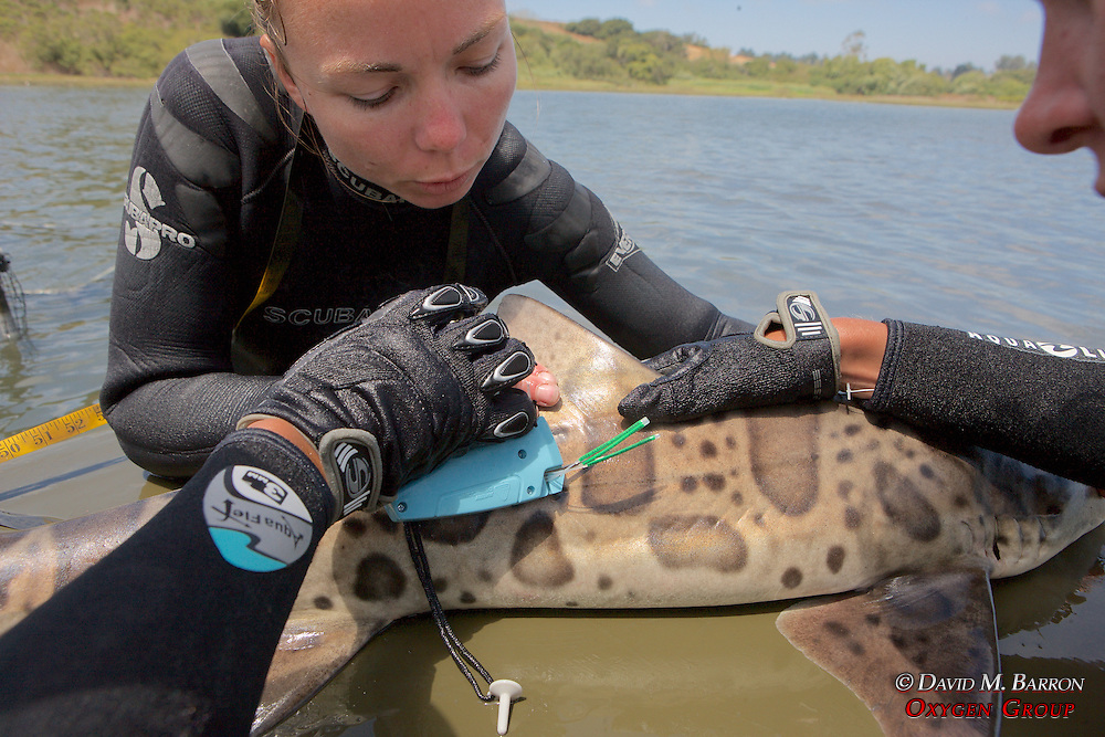 Katie Kent Attaching Tag To Leopard Shark