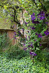 Clematis x jackmanii growing through a tree by the South Cottage at Sissinghurst Castle Garden