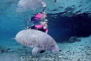 snorkeler and Florida manatee, Trichechus manatus latirostris, King Spring, Crystal River National Wildlife Refuge, Crystal River, Florida, USA  MR 258