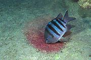 male sergeant major damelfish, <br /> Abudefduf saxatilis, grooming red egg patch,<br /> Cayman Island, ( Caribbean )