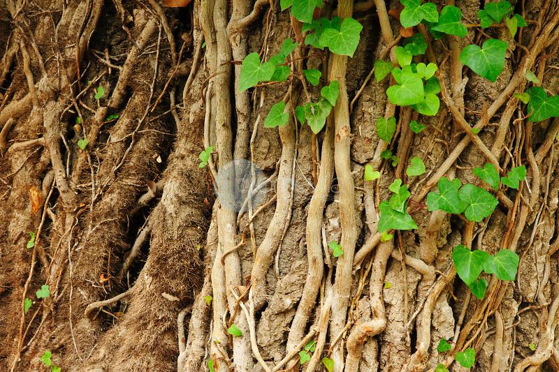 Enredadera en un Álamo blanco (Populus alba). Rambla de los Molinos. Almansa. Albacete Castilla La Mancha. España. Europa ©ANTONIO REAL HURTADO / PILAR REVILLA