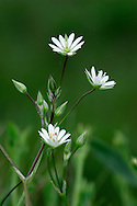 LESSER STITCHWORT Stellaria graminea (Caryophyllaceae) Height to 50cm. Perennial of open woodland, meadows and hedgerows, mainly on acid soils. Note the smooth-edged stems. FLOWERS are white and 5-15mm across, with 5 deeply divided petals (May-Aug). FRUITS are capsules. LEAVES are long, narrow, smooth-edged and grass-like. STATUS-Widespread and common throughout.