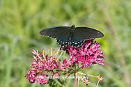 03004-01312 Pipevine Swallowtail butterfly (Battus philenor) male on Purple Milkweed (Asclepias purpurascens) Barton Fen in Reynolds Co., MO