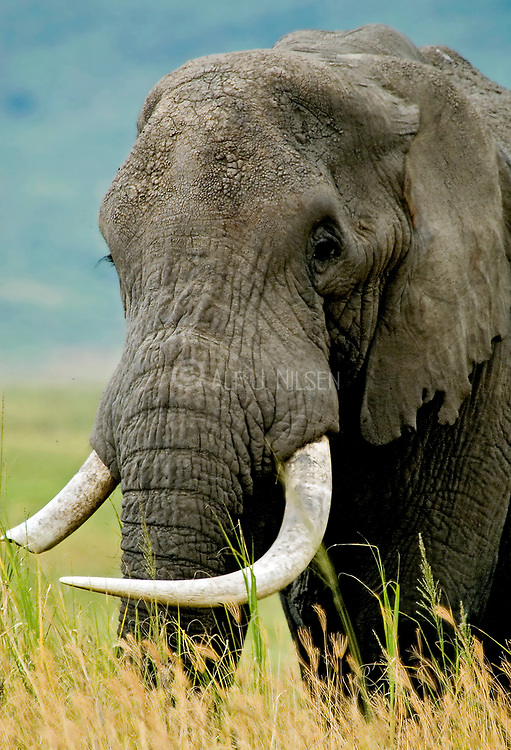 60-year old bull African Elephant (Loxodonta africana) in Ngorongoro Crater, Tanzania.  Here the bull elephants live alone and do not belong to a social group as is common elsewhere.