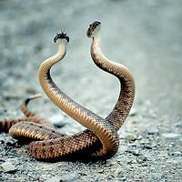 """RATTLESNAKES. Male Panamint rattlesnakes in non-mortal """"Combat Dance,"""" believed to be a territorial ritual.  White Mts., CA."""