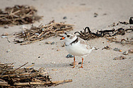 A piping plover on the beach at Crowe's Pasture in East Dennis.