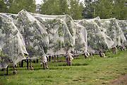 Nederland, Winssen, 2-7-2019 In een boomgaard, kersenboomgaard, worden kersen verkocht. De bomen met de rijpe vruchten zijn helemaal ingepakt in luchtdoorlatend zeildoek om te voorkomen dat vogels de boomgaard leegeten . Foto: Flip Franssen