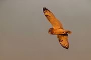 A short-eared owl (Asio flammeus), in golden light as the sun sets, flies while hunting over Bow, Washington.