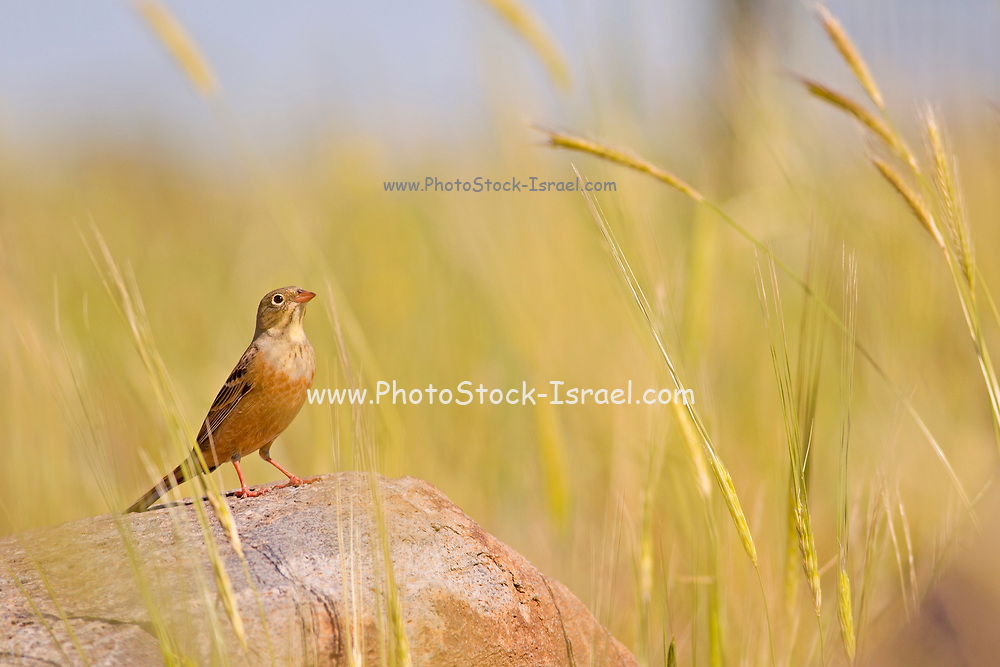 Ortolan Bunting (Emberiza hortulana) on a rock, wintering in Israel. Photographed in Israel in April