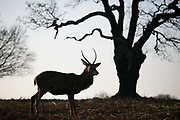 A young red deer stag in Richmond Park enjoy the winter sun January 22nd 2017 in London. Hundreds of wild red and fallow deer roam freely in the park and can easily be found when walking in the park.